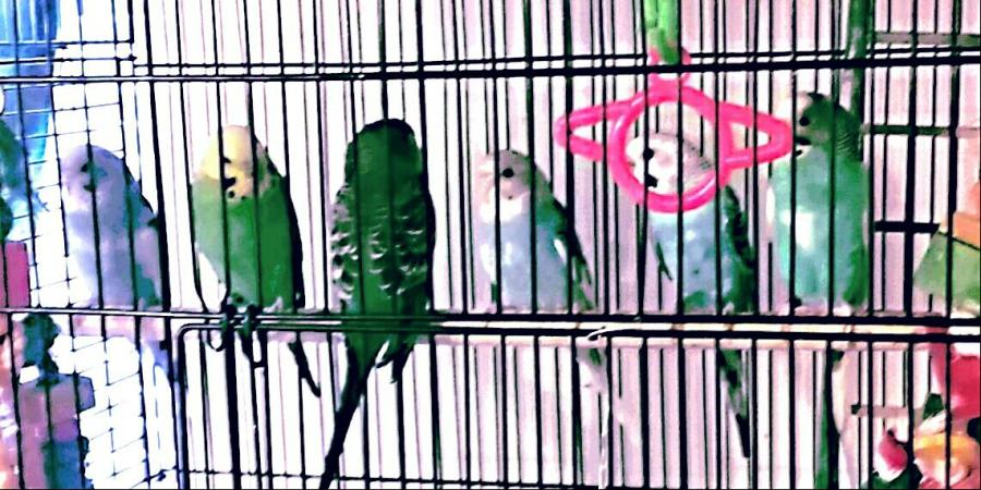 budgies for BirbObserver