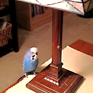 Harry having climbed the cord of his lamp [By @HarrytheBirdie]