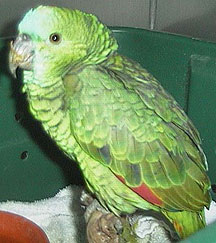 Ruffled feathers is typical for a bird suffering from psittacosis (By parrot-and-conure-world.com)