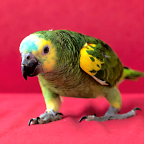 Slovakian baby parrot, blue-fronted Amazon Sagy explores the designer red sofa, Miriam 2 [By @Sagy_greenforever (IG)]
