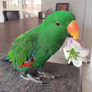 """""""Aaaaand for the ladies!"""" {(By @chilli_the_eclectus (IG)]"""