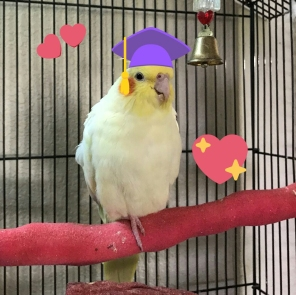 """""""I am a very smart birb. Can be proven by Bachelors degree from Harbird, and this hat."""" [By @sugartiel (Tw)]"""