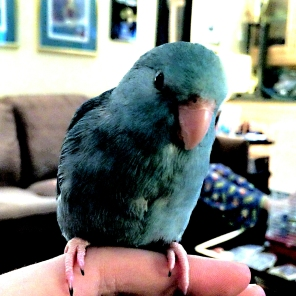 (Photo by @SkyetheParrotlet (Tw))