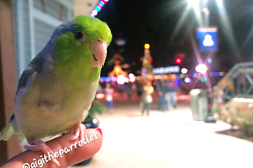 Gigi at Disney West (By @gigitheparrotlet (IG))