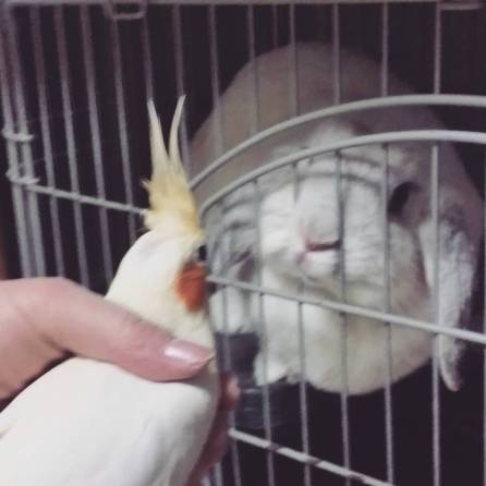 """We are both girls!!!"" Bunny Yukiko and cockatiel Kana of @Chibibobby (Courtesy of @Chibibobby (IG))"