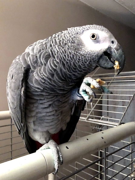 Stan Parrot, handsome African grey (courtesy of @StanleyParrot (Tw))