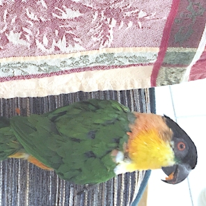 Black-capped caique Emperor Felix wishes his followers Happy National Bird Day (Courtesy of @SweetFelix (Tw))