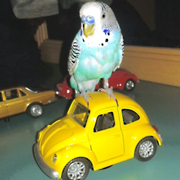 Mavis does his dance on the car roof (got to watch those Mediterranean budgies!) (Photo courtesy of @yaseminkansu662 (Tw))