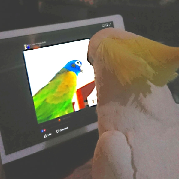 Oscar spies on Keito via Webcam? (Courtesy of @Quarkybirdy (Tw/IG) and @paulineporter16 (Tw)/@pjbirds16 (IG))