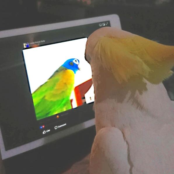 Oscar spies on Keito via Webcam? (Courtesy of @Quarkybirdy (Tw/IG) and @paulineporter16 (Tw)/@pjbirds16 (IG))