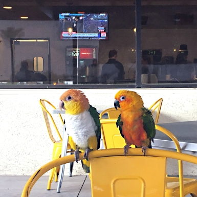 Shiloh and Dixie take on their Southern town at brunch (Courtesy of @ShilohtheConure (Tw) and @DixietheCaique (Tw))