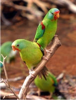 swift parrot 1