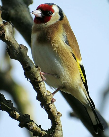 My favorite little bird, the goldfinch, announces its arrival in the garden tree with a pleasant combination of twitters and trills . .. (Courtesy of @martinsbirdwatch (IG))