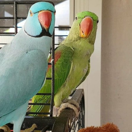 Luna makes overtures toward Jade, the new Alexandrine in town (Courtesy of @Luna_the_Lunatic_Parrot (IG))