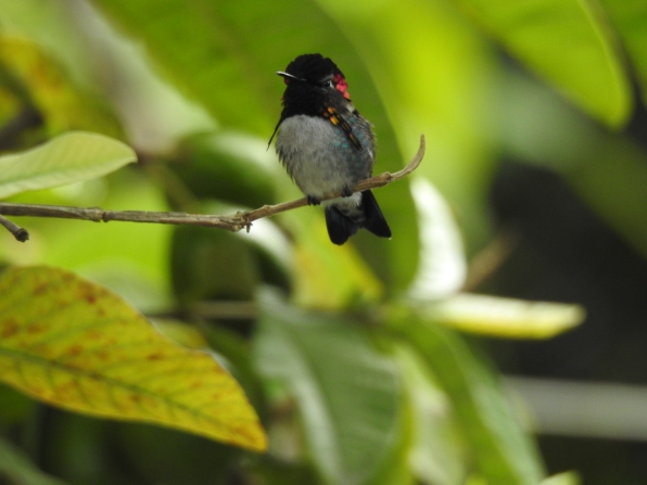 bee hummingbird small