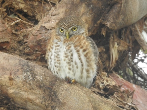 Cuban pygmy owl small