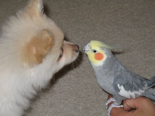 dog and cockatiel
