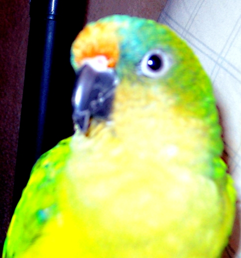 Tucson Conure I (Courtesy of @MiloJames2 (Tw))