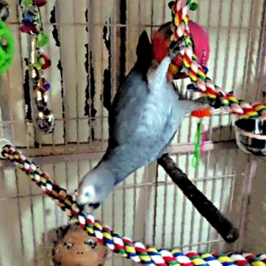 Chiyome celebrates her 24th Hatch Day with a display of Circus Ring grace (Courtesy of @FlockIsFamily (Tw))
