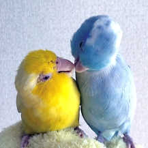 The two Match Stick Birds are at it again in Japan on Valentine's Day I (Courtesy of @Okamen75 (Tw))