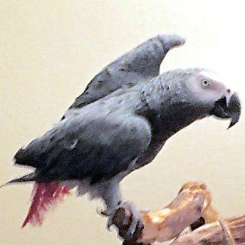Alfie's Wing's Up, Style 2 (Courtesy of @LauraAllen55 (Tw))