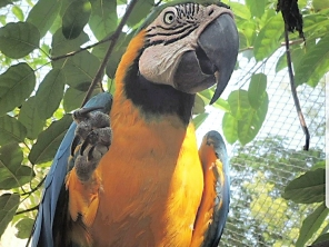 Wish is the blue and gold macaw at the Assam Zoo who Jumi Junaki has adopted (Courtesy of @JumiJunaki (IG))