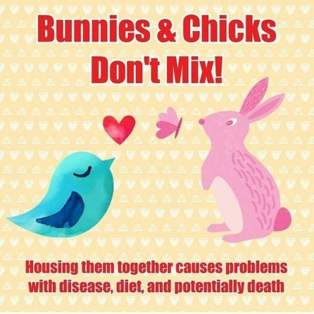 Courtesy of @magichappensrescuerabbits (IG): Housing bunnies and chicks together can prove fatal. High carb diets may lead to chick obesity or GI stasis in a rabbit. Parasites and bacteria such as coccidia, salmonella & streptococcus can cause serious illness or death if not treated.