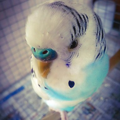 Greetings from Puttu the Parakeet! (Courtesy of @ImPuttu (Tw))