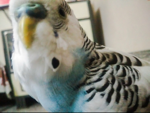 Puttu is a dashing and energetic birb! (Courtesy of @ImPuttu (Tw))
