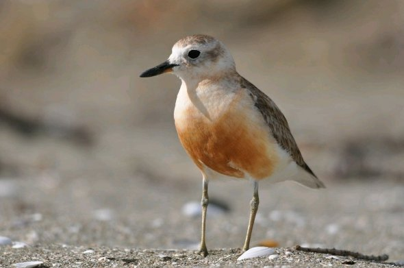 Dotterel (CCO, no attribution required)