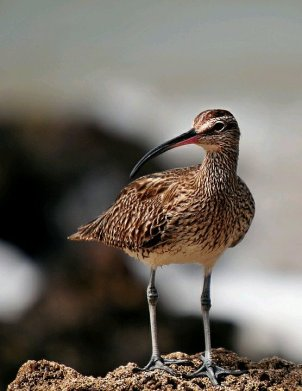 Whimbrel (CC)/Creative Commons, no attribution required)