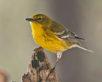 Pine Warbler (CCO/Creative Commons, no attribution required)