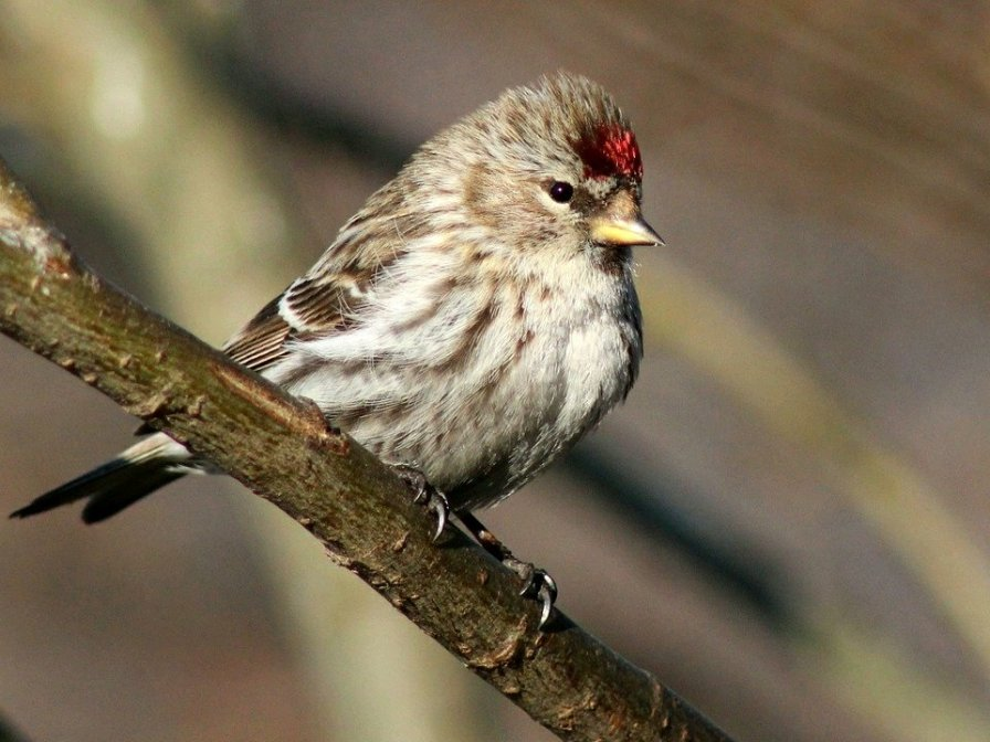 Redpoll Finch (Passerine) (CCO/Creative Commons, no attribution required)