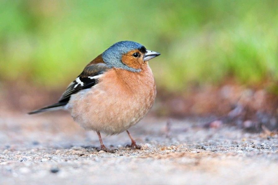 Chaffinch (Passerine) (Creative Commons, no attribution required)