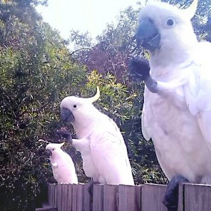 Sulfur-cresetd cockatoos perch on the perimeter enjoying a meal (Courtesy of Benjamin ROsenzweig (@lumpnboy (Tw)))