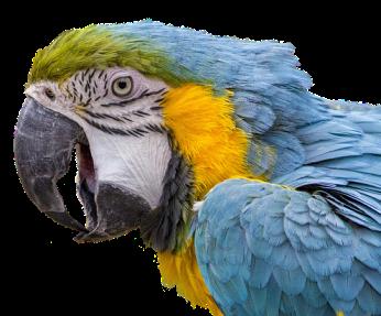 macaw scream