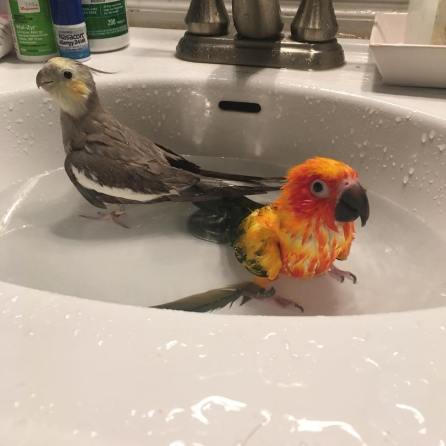 Tweety and little brother Mango enjoy a bath (Courtesy of @Tweety_the_tiel (IG))