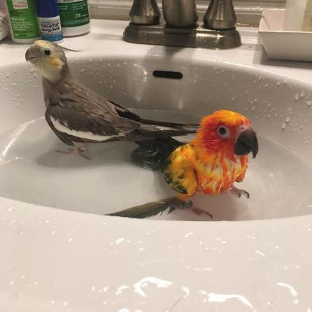 Tweety and little brother Mango enjoy a bath (Courtesy of @Tweety_the_tiel (IG))