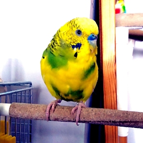 Ryan, Stanley 's new brother, a gem of an Easter rescue (Courtesy of @mumofbadbudgie (Tw))