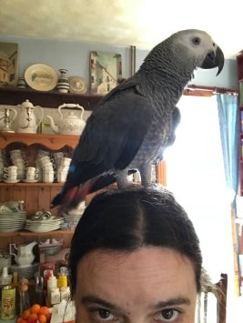 Jack's favorite perch is Tracy's head! (Courtesy of @VampireBloom (Tw)); Happy 1st birthday to @CaptyJack (Tw))