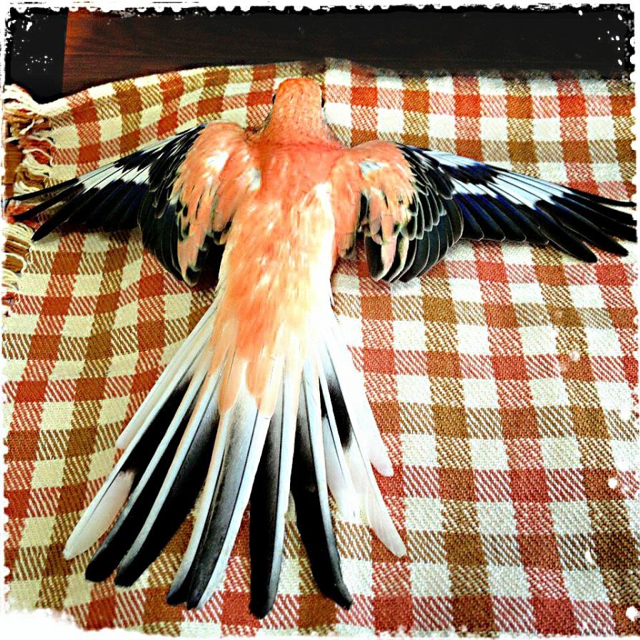 Six-year-old Bourke's Parakeet Momo (Courtesy of @fuku_okame (Tw)/@bluewings_cafe (IG))
