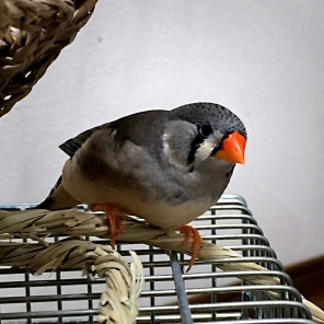 Zebra finch Kinako loves her pellets & is very active! (Courtesy of @fuku_okame (Tw)/@bluewings_cafe (IG))