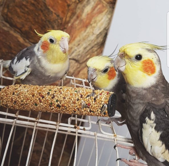 "Sebastian, Duke, and Mama's Boy Charlotte demonstrate ""Millet's the best! (Courtesy of @RealityBirbs (IG/Tw))"