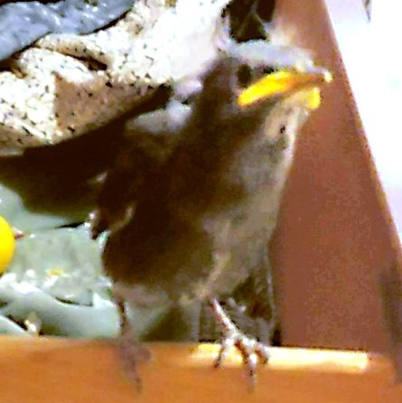 Hatchling Hercules rebounds from misfortune with steady parrontal feeding (Coffee Dave Bee (FB))