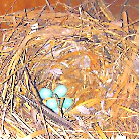 The European starling nest Dave discovered in his garage (Courtesy of Dave Bee (FB))