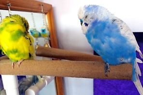 Stanley joins Ryan for a nap (Courtesy of @mumofbadbudgie (Tw))
