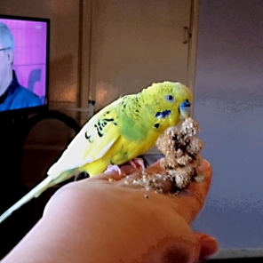 Ryan is intrepid when it comes to millet (Courtesy of @mumofbadbudgie (Tw))
