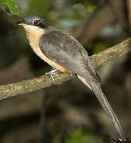 Mangrove Cuckoo, photo by Tom Friedel BirdPhotos.com