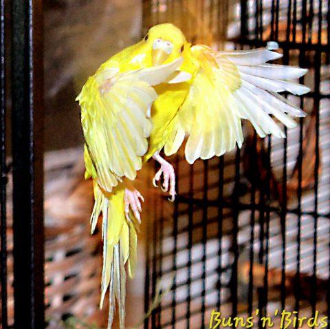 PhoenixRisingii