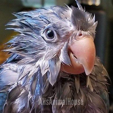 I. Am. A. Chicken. Hawk. Iyam. Iyam. (Courtesy of @alisanimalhouse (IG))